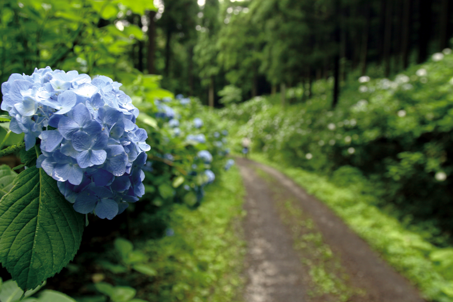 園 一関 あじさい 2021年の岩手みちのくあじさい園・紫陽花の見頃はいつ?現在の開花状況も